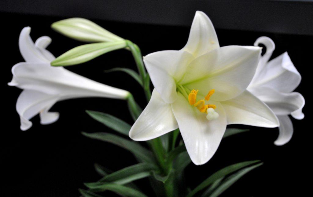Hoa huệ bày bàn thờ nên cắm hướng lên cao và hướng ra ngoài.