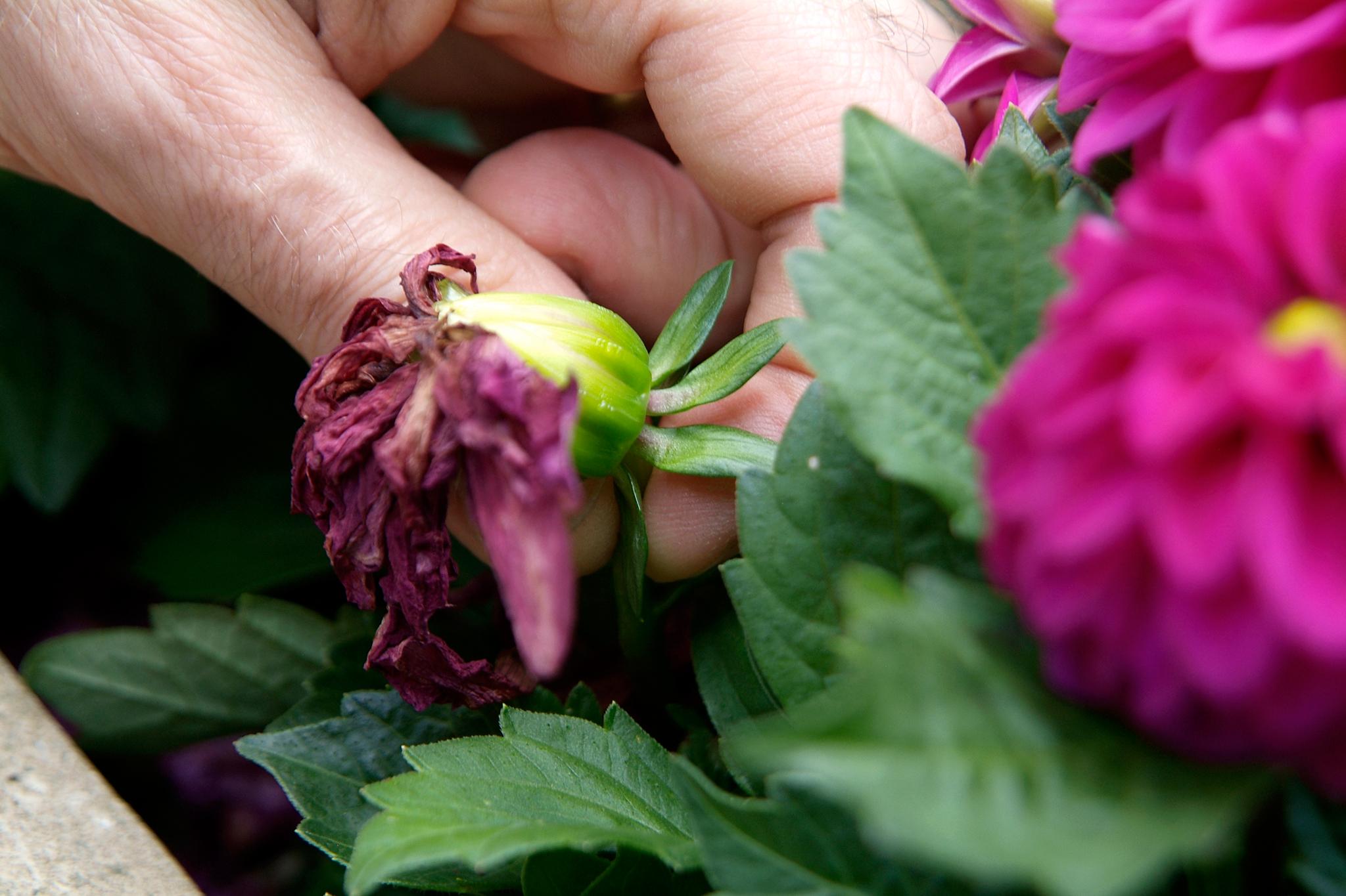 Bạn cần loại bỏ các cành hoa héo, hỏng để tránh lây sang các hoa khác.
