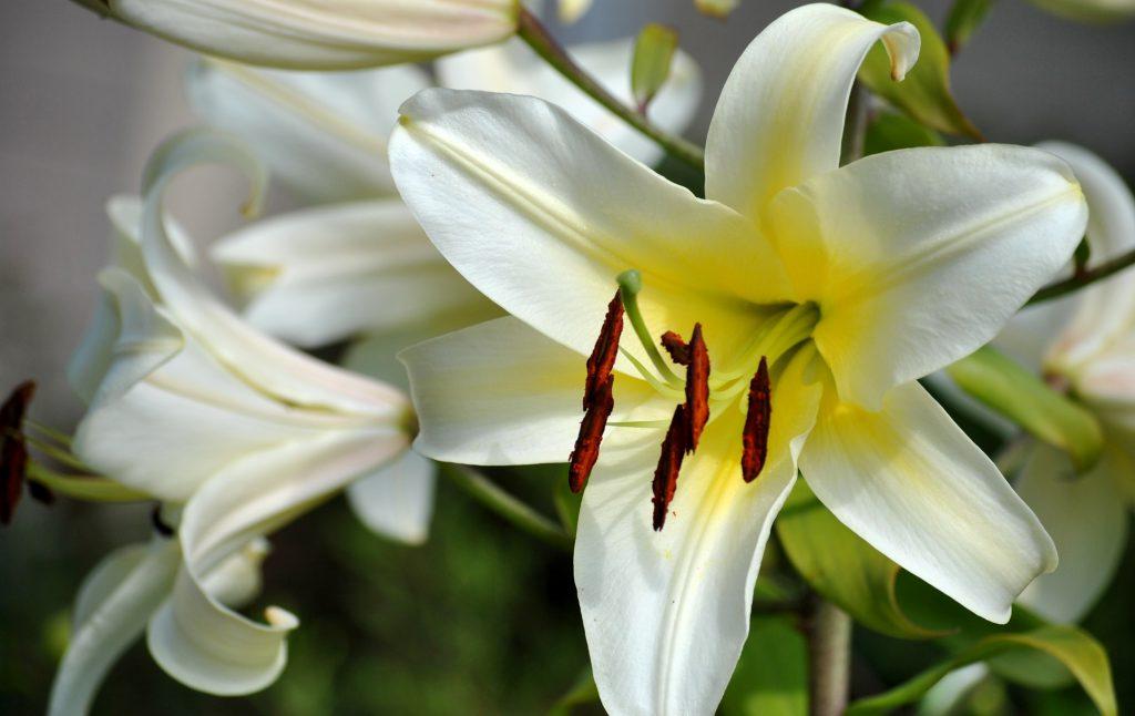 Để hoa ly tươi lâu, bạn cần tuốt sạch lá ở 20cm gốc dưới.