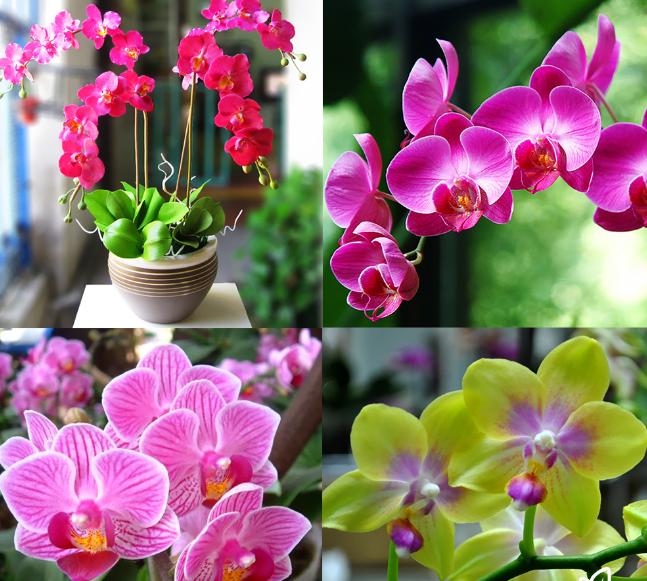 Lan Hồ Điệp là một loài hoa ưa ánh nắng mặt trời, do đó việc cung cấp đủ ánh sáng sẽ giúp có được những bông hoa rực rỡ nhất