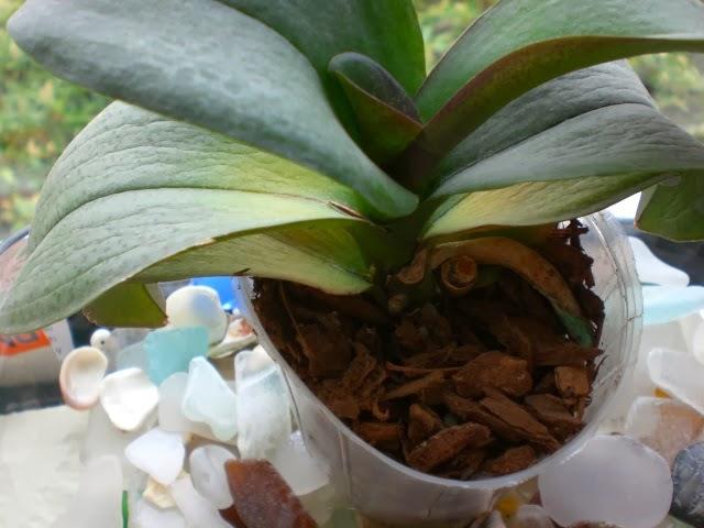 Nhiều cây hoa lan Hồ Điệp do điều kiện sinh trưởng không thuận lợi nên lá cây bị thối, hoa nhỏ hoặc không thể phát triển