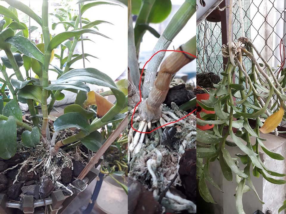 Chậu hoa địa lan bị thối rữa khi để dính nước mưa
