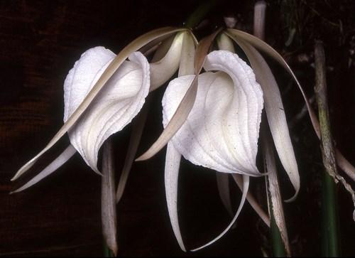Lan hoa hậu Brassavola cucullata
