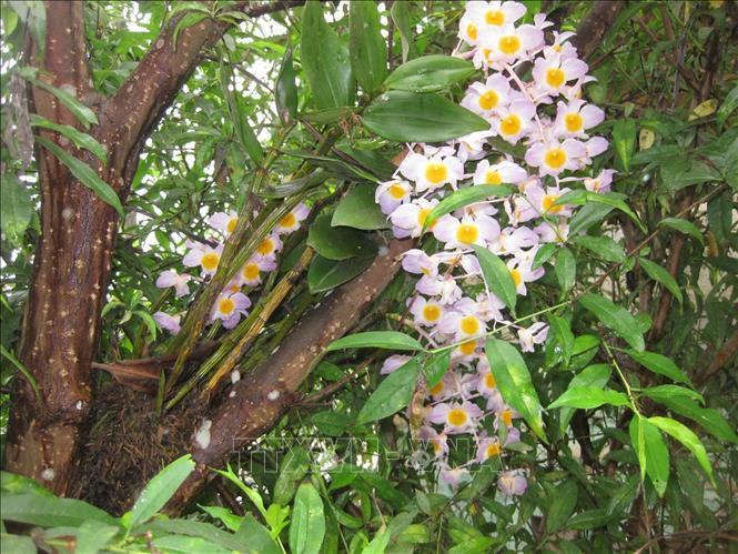 Những bông lan dại được tìm thấy trong những khu rừng nguyên sinh