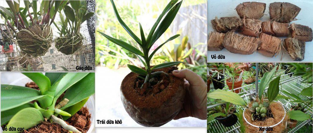 Trồng Lan bằng dừa khô là hình thức phổ biến hiện nay