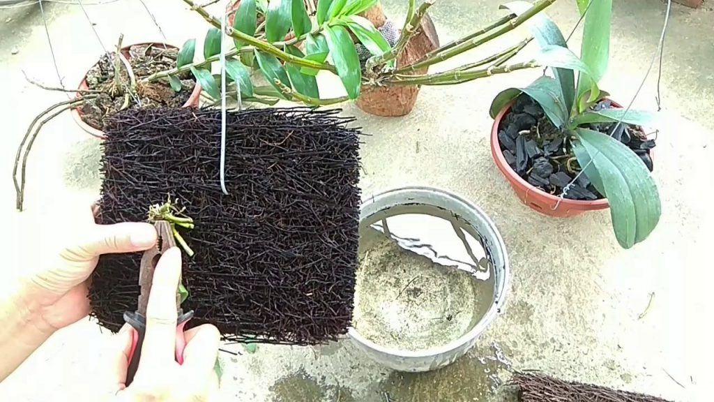 Dớn cọng nhỏ có thể làm chất trồng trong chậu